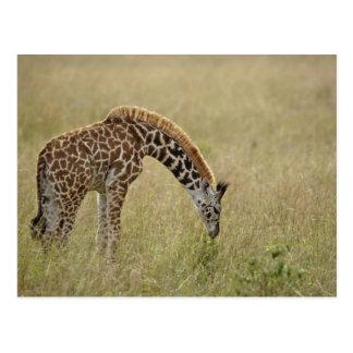 Baby Masai Giraffe, Giraffa camelopardalis Postcard