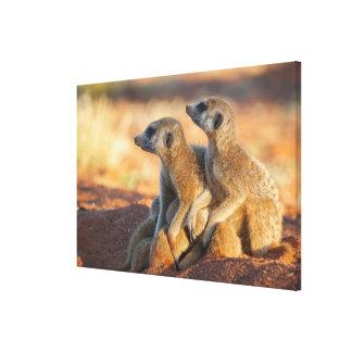 Baby Meerkats Hide Under Their Parents Canvas Print