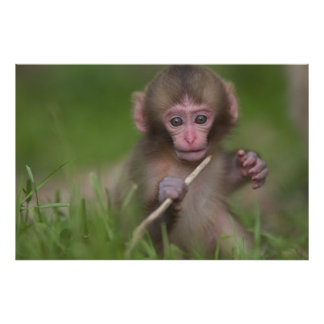 Baby Monkey Is Playing With A Twig Poster