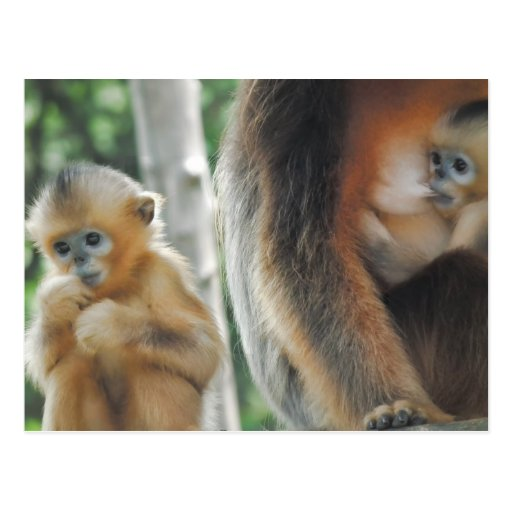 Baby Monkey with mother Postcards