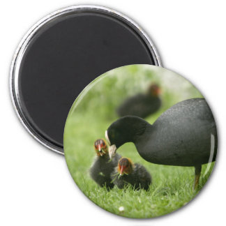 Baby Moorhens 2 Inch Round Magnet