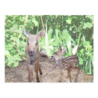 Baby moose calf and fawn postcard