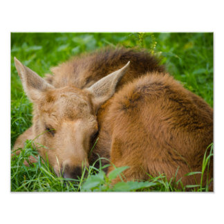 Baby Moose Sleeping In Grass, Animal Photography Poster