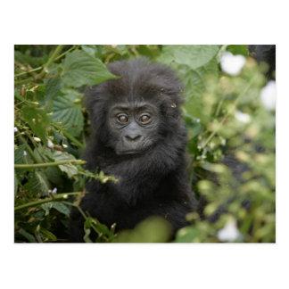 baby mountain gorilla post card