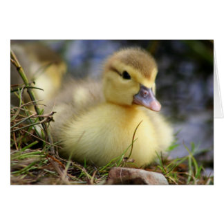 Baby Muscovy Duckling Card
