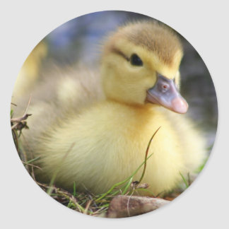 Baby Muscovy duckling Classic Round Sticker