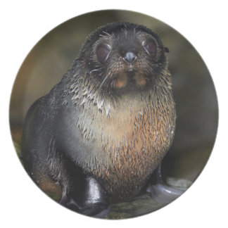Baby New Zealand Fur Seal Dinner Plate