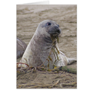Baby Northern Elephant Seal Greeting Cards