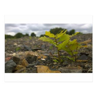 Baby Oak Postcard