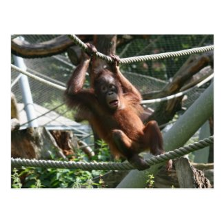 Baby Orangutan - Hang in there Postcard