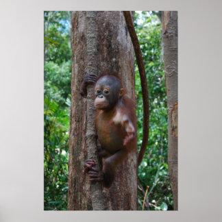 Baby Orangutan in Borneo Rainforest Poster