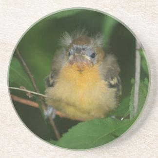 Baby Oriole Bird Animal Coaster