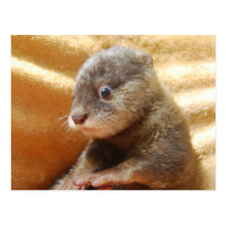 Baby otter pup post card