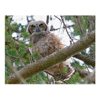 Baby Owl Staring Postcard