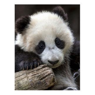 Baby panda climb a tree postcard