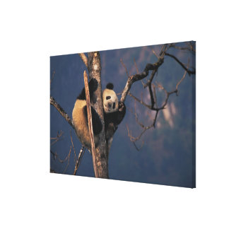 Baby panda playing on tree, Wolong, Sichuan Canvas Print