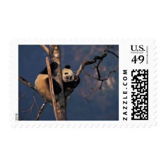 Baby panda playing on tree, Wolong, Sichuan Postage