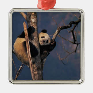 Baby panda playing on tree, Wolong, Sichuan Square Metal Christmas Ornament