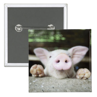 Baby Pig in Pen, Piglet 2 Inch Square Button