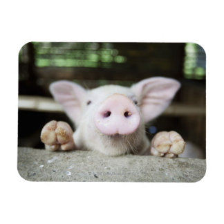 Baby Pig in Pen, Piglet Rectangular Magnets