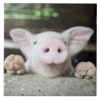 Baby Pig in Pen, Piglet Tiles