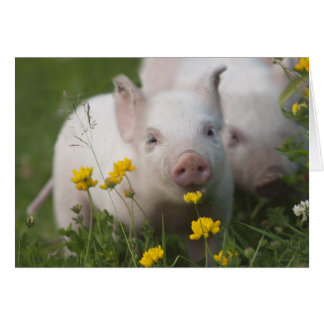 Baby Piglet in Field of Yellow Flowers Card