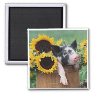 Baby Piglet Pig 2 Inch Square Magnet