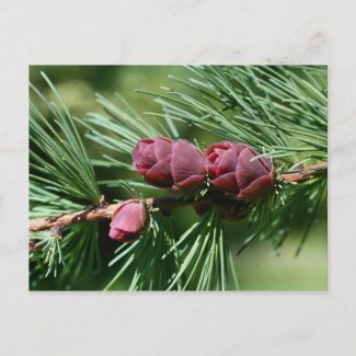 Baby Pine Cones Nature Photo Postcard postcard