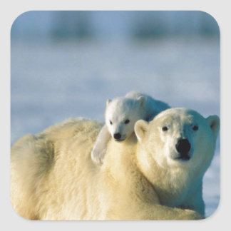 Baby Polar Bear Climbs On Mother Square Sticker