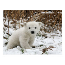 Baby Polar Bear Postcard