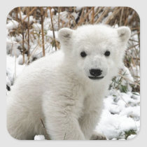 Baby Polar Bear Square Sticker