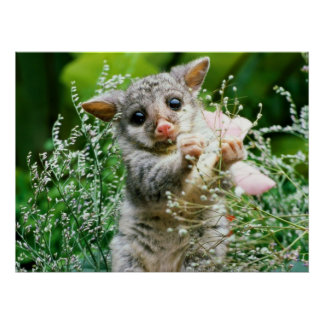 Baby Possum Caught Picking Flowers Poster