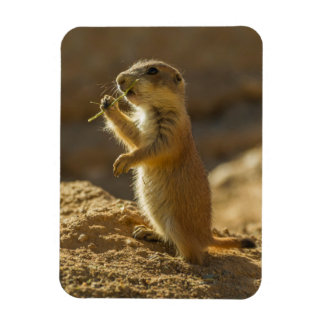 Baby prairie dog eating, Arizona Magnet