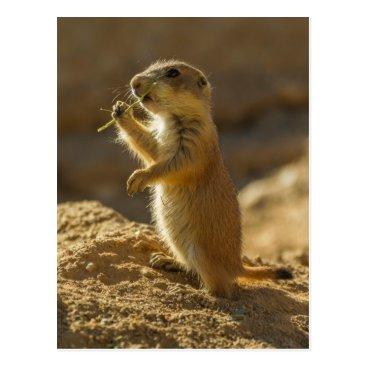 USA Themed Baby prairie dog eating, Arizona Postcard