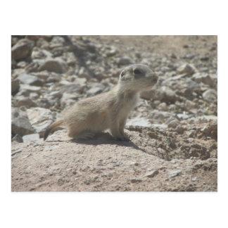 Baby Prairie Dog Postcard