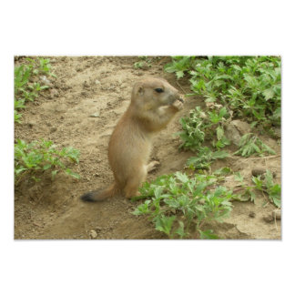 Baby Prairie Dog Poster