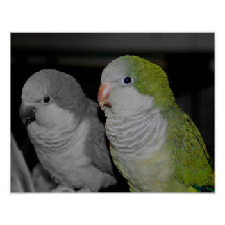 Baby Quaker Parrots Black And White Poster