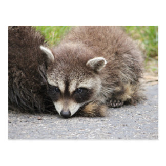 Baby Raccoon Postcard
