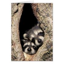 Baby raccoons in tree cavity Procyon