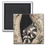 Baby raccoons in tree cavity Procyon 2 Inch Square Magnet