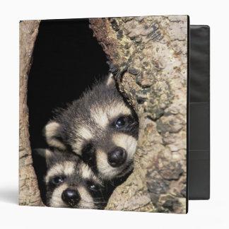 Baby raccoons in tree cavity Procyon Binder