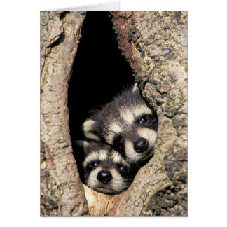 Baby raccoons in tree cavity Procyon Greeting Cards