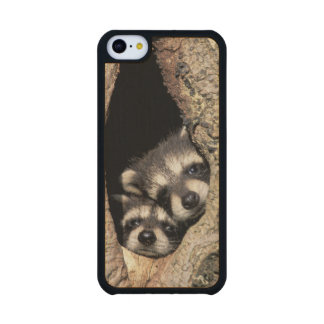 Baby raccoons in tree cavity Procyon Carved® Maple iPhone 5C Case