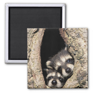 Baby raccoons in tree cavity Procyon Refrigerator Magnet