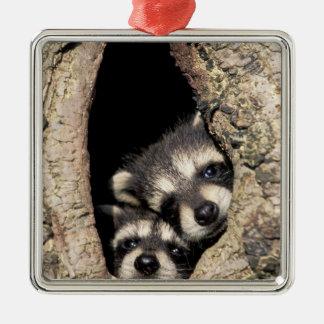 Baby raccoons in tree cavity Procyon Metal Ornament