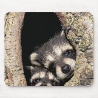 Baby raccoons in tree cavity Procyon Mouse Pads