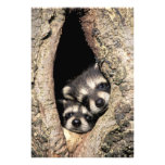 Baby raccoons in tree cavity Procyon Photo Print