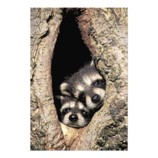 Baby raccoons in tree cavity Procyon Art Photo