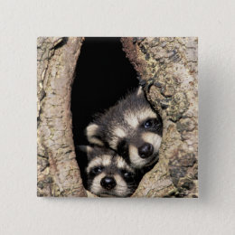 Baby raccoons in tree cavity Procyon Pinback Button