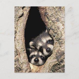 Baby raccoons in tree cavity Procyon postcard